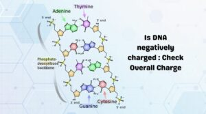 Is DNA negatively charged